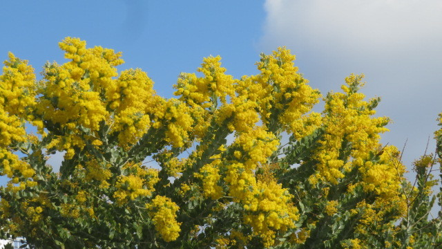 2021 3 3 ミモザの花「