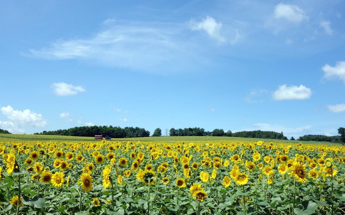 北海道・北竜町・ひまわり畑