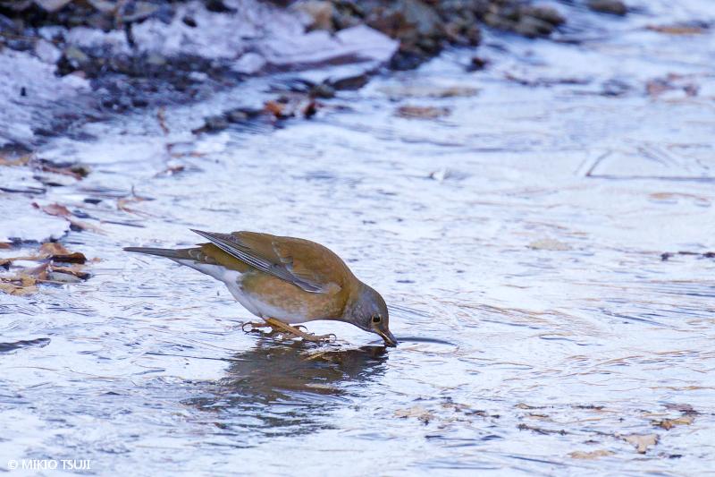 絶景探しの旅 - 絶景写真No.1561 氷の穴から水飲むシロハラ (埼玉県 坂戸市)