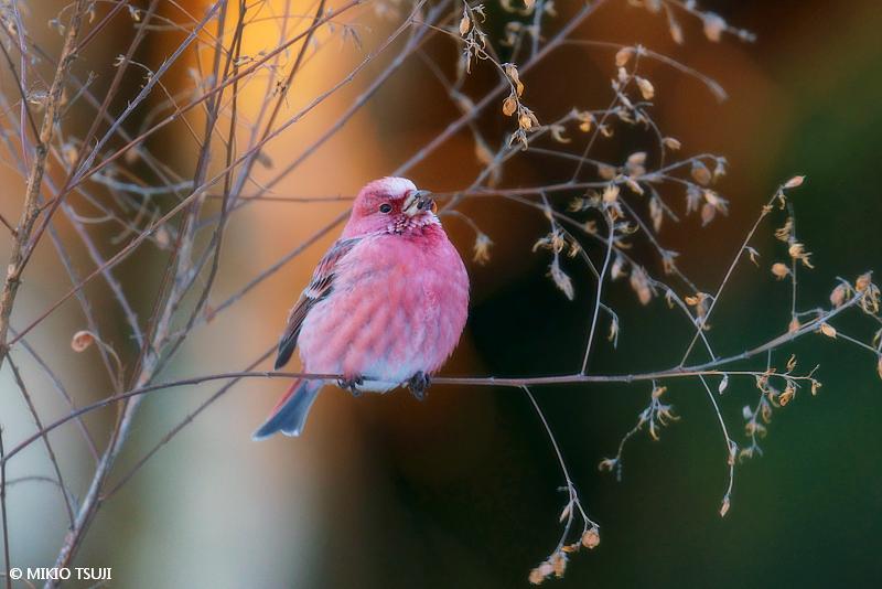 絶景探しの旅 - 絶景写真No.1578 赤い鳥オオマシコ (長野県 塩尻市)