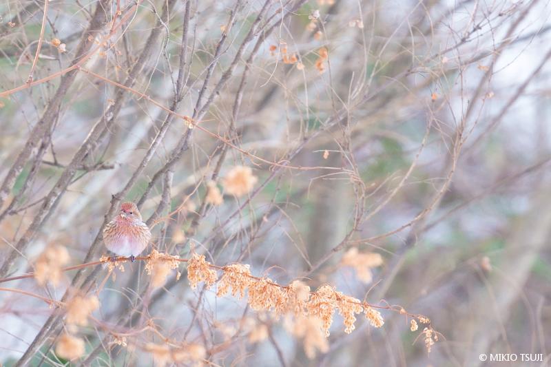 絶景探しの旅 - 絶景写真No.1582 虎杖の実とオオマシコ(長野県 塩尻市)