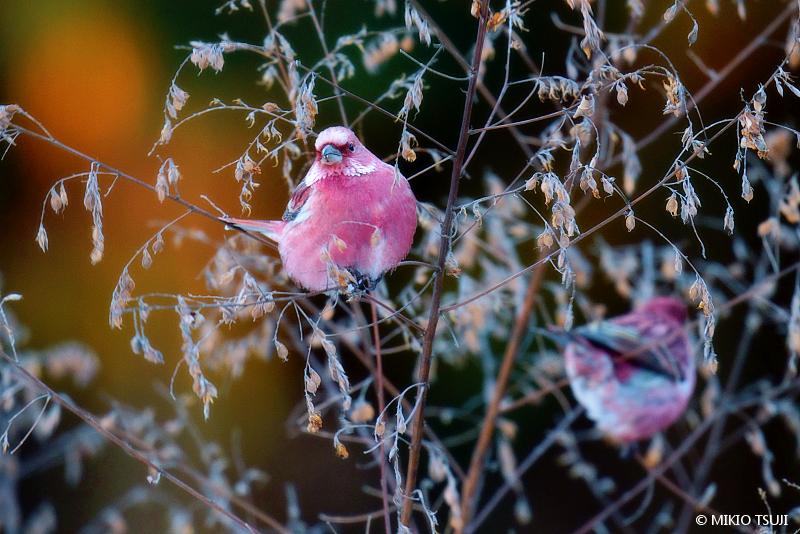 絶景探しの旅 - 絶景写真No.1579 凍てつく朝のオオマシコ (長野県 塩尻市)