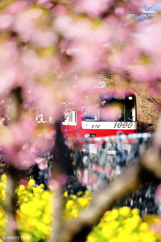 絶景探しの旅 - 絶景写真No.1599 ひと足お先に春爛漫 (神奈川県 三浦市)