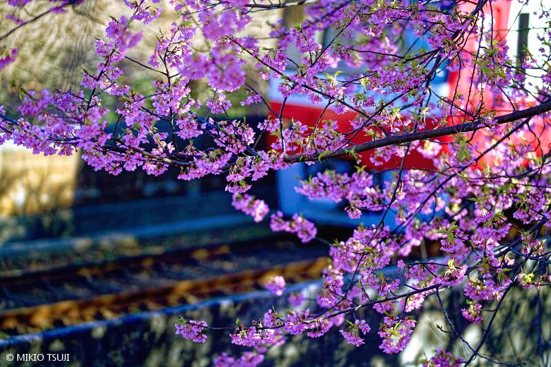 絶景探しの旅 - 絶景写真No.1600 朝の青い河津桜 (神奈川県 三浦市)