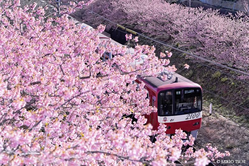 絶景探しの旅 - 絶景写真No.1601 桜の中を行く (神奈川県 三浦市)