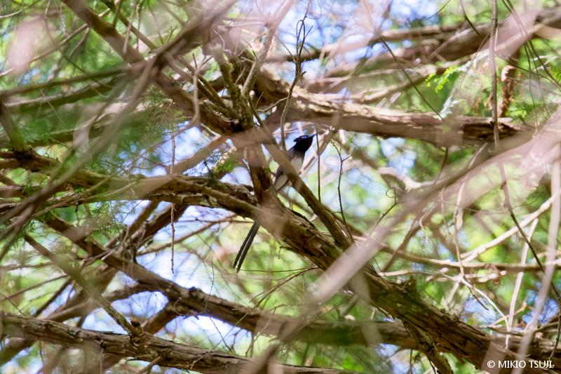 絶景探しの旅 - 絶景写真No.1672 枝のネットを見上げれば (サンコウチョウ/東京都 八王子市)